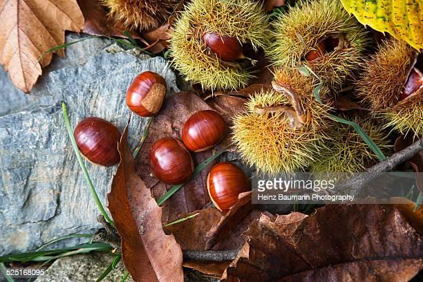 Ripe chestnuts, Castanea sativa