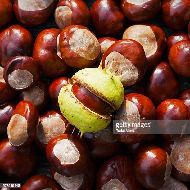 Ripe chestnuts, one chestnut with cracked skin