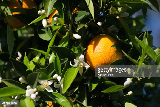 ripe citrus hanging from tree amidst new orange blssoms - orange blossom stock photos and pictures