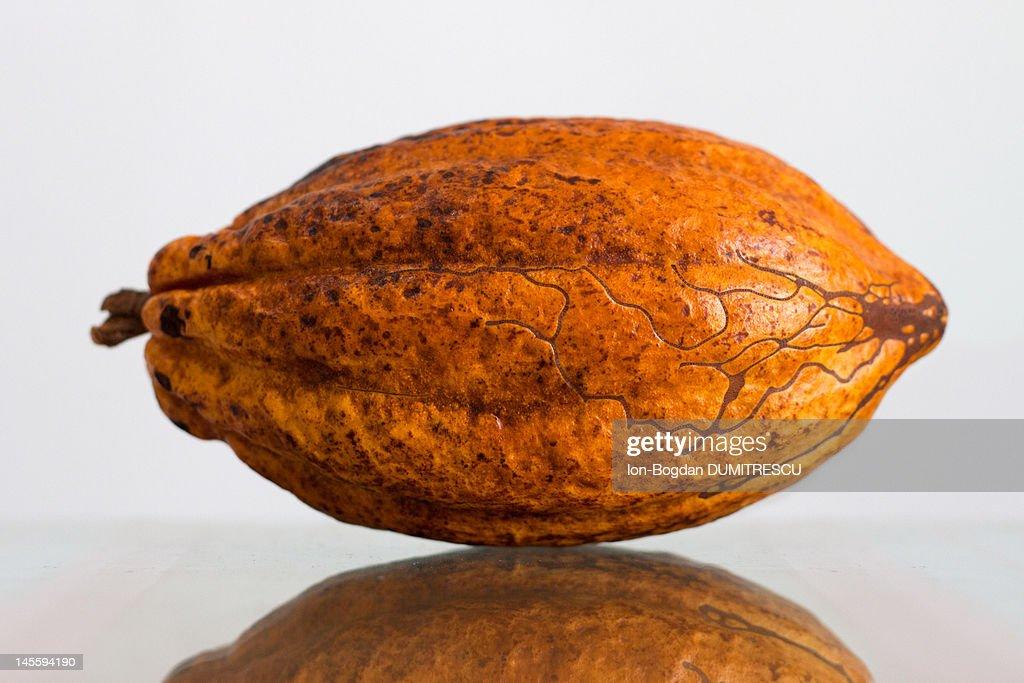 Ripe cocoa pod : Stock Photo