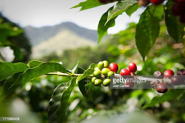 maduras grãos de café (cerejas) - crop plant - fotografias e filmes do acervo