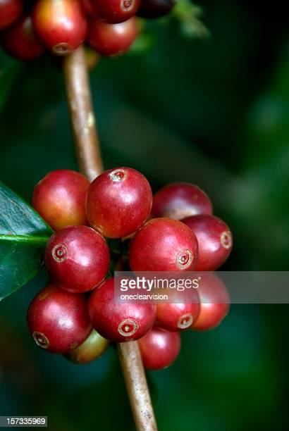 Ripe Coffeee On the Tree