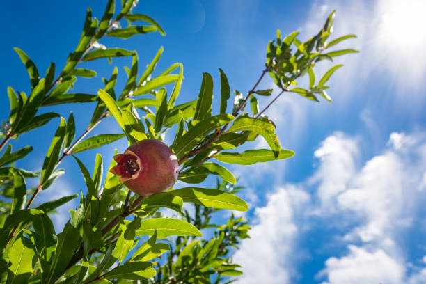 ripe colorful pomegranate fruit on tree branch with sun and blue sky in the background. - pomegranate tree stock photos and pictures
