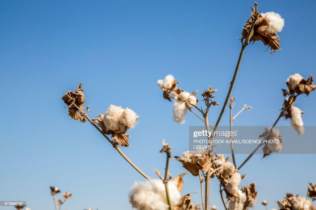 Ripe cotton in field : Stockfoto