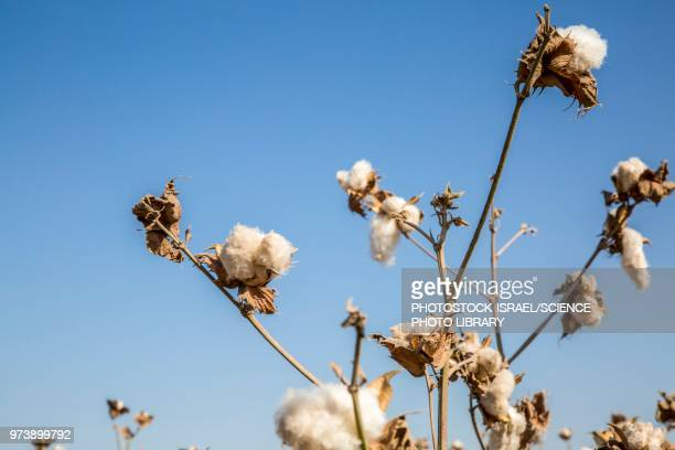 ripe cotton in field - katoenbol stockfoto's en -beelden