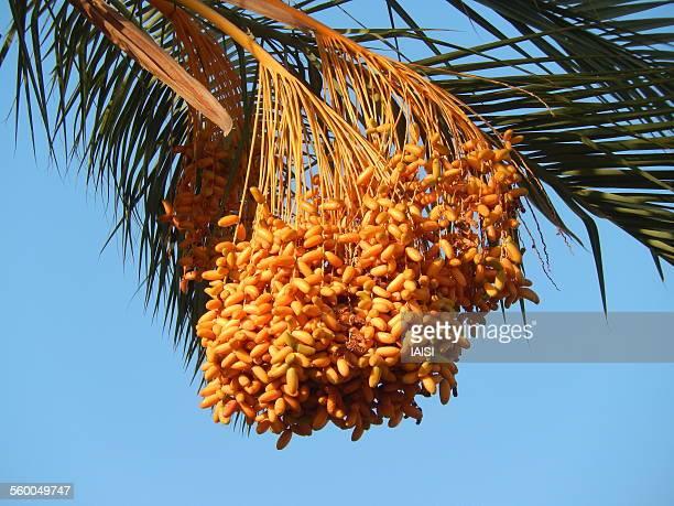 Ripe date fruit bunch on date palm tree
