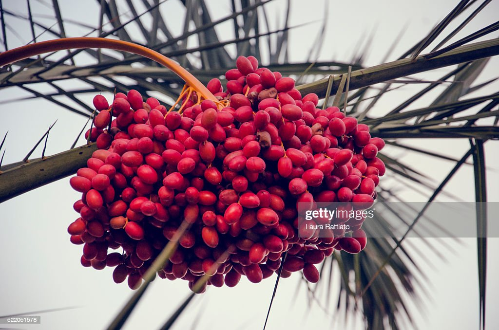 Ripe dates (date fruit) ready to be collected : Stock Photo