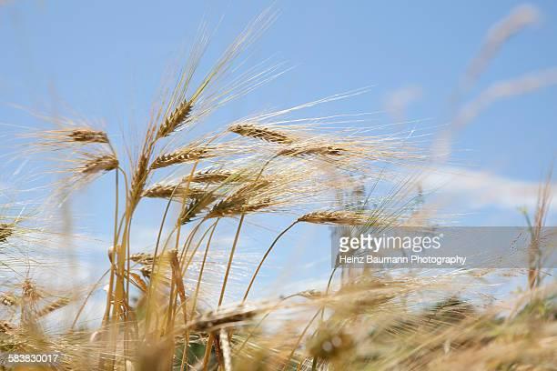Ripe ears of emmer wheat