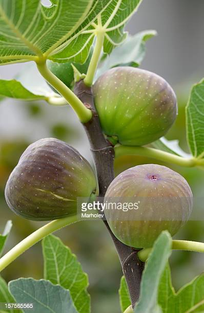Ripe figs on a tree