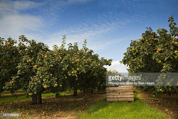 ripe for picking - orchard stockfoto's en -beelden