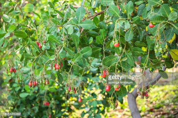 ripe fruits of cashew nut tree - cashew stock pictures, royalty-free photos & images