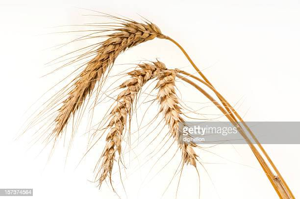Ripe golden wheat on white - close-up