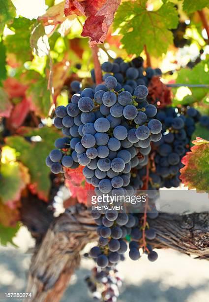 ripe grapes - cabernet sauvignon grape stock photos and pictures