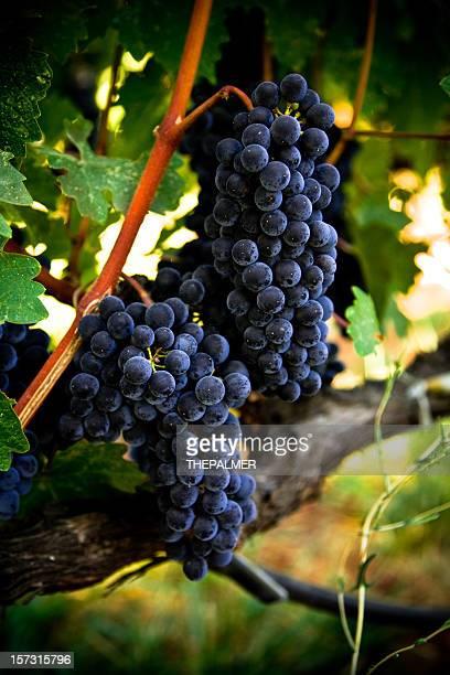 ripe grapes - cabernet sauvignon grape stock pictures, royalty-free photos & images