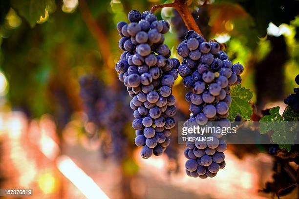 uvas maduras - cabernet sauvignon grape - fotografias e filmes do acervo