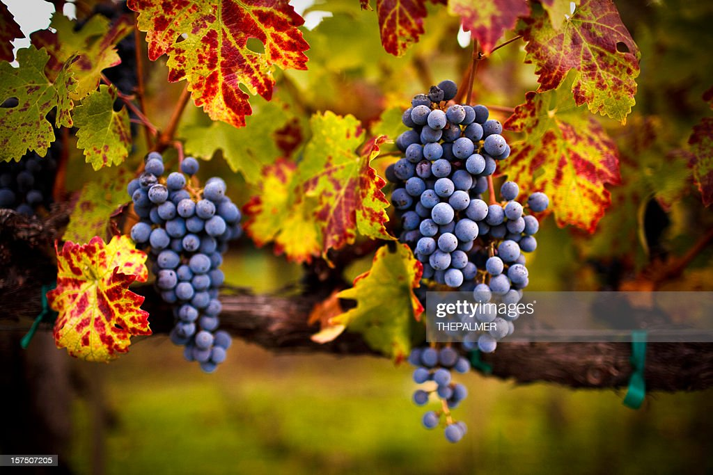 ripe grapes : Stock Photo
