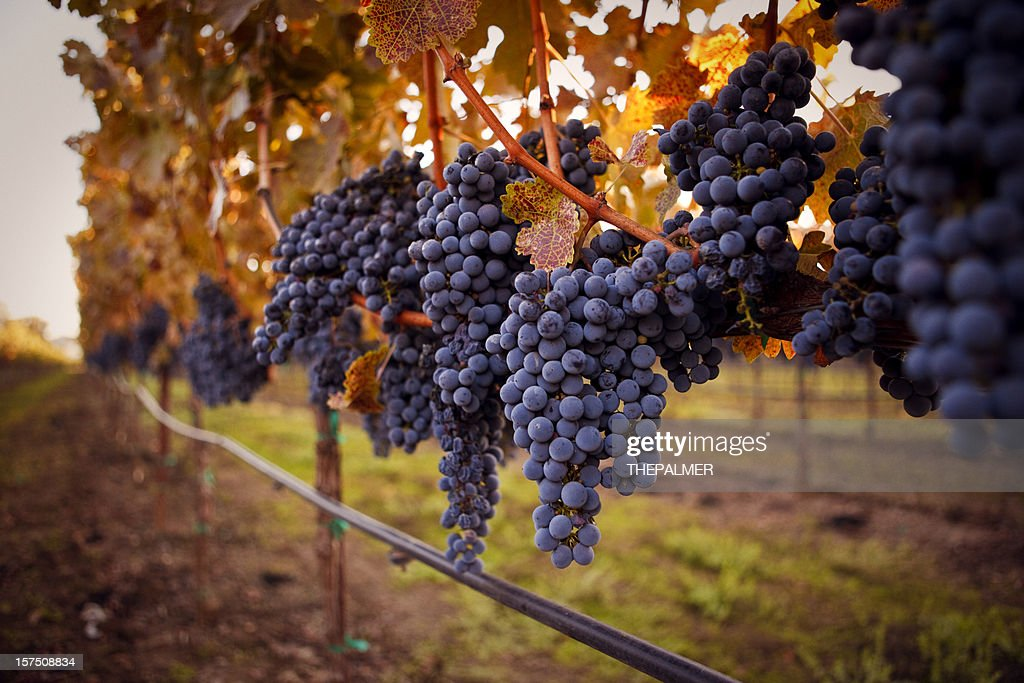 ripe grapes : Stock Photo