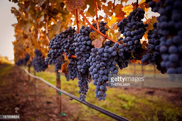 ripe grapes - sonoma county stock pictures, royalty-free photos & images