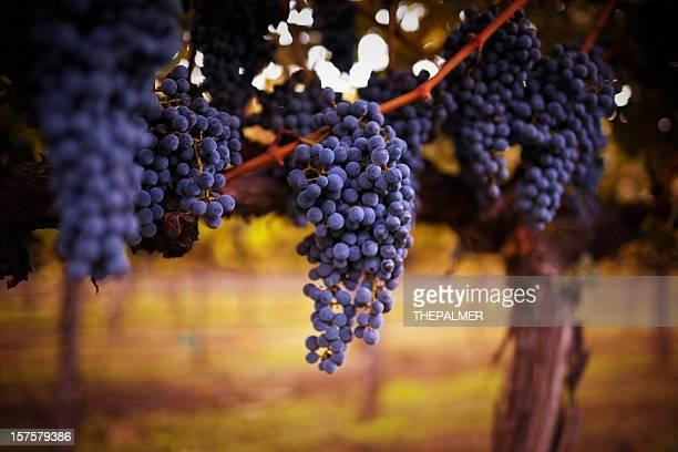 熟したブドウ - cabernet sauvignon grape ストックフォトと画像