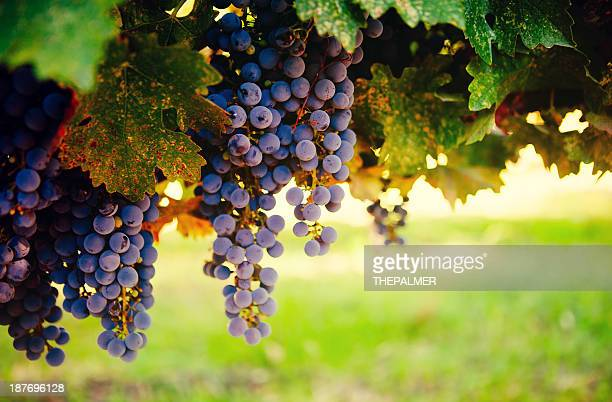 ripe grapes - napa california stock photos and pictures