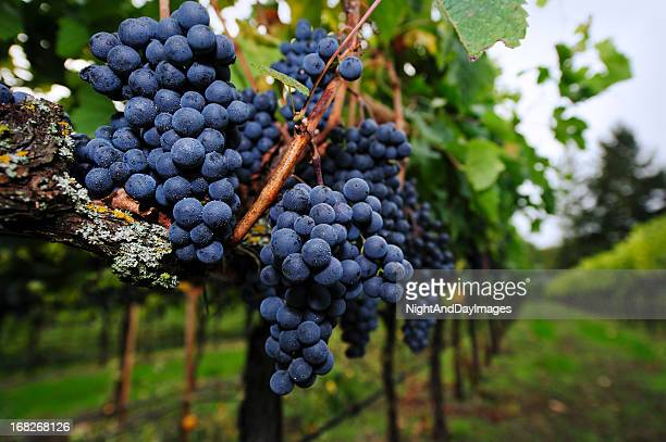Ripe Grapes ready for Harvest