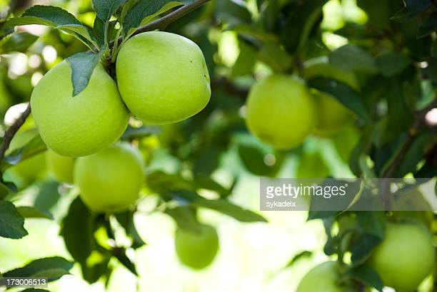 Ripe green apples at an orchard