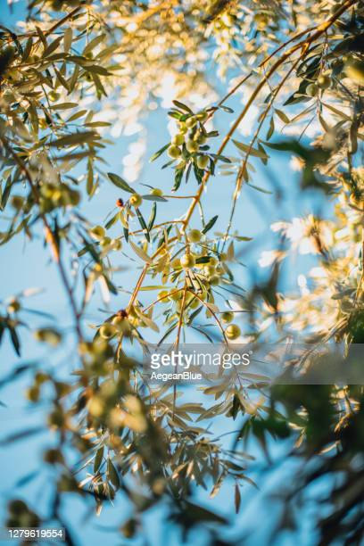 ripe green olives on the branch - ripe stock pictures, royalty-free photos & images