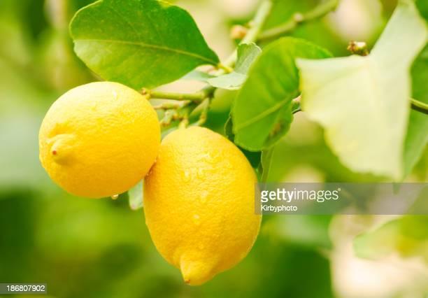 Ripe lemon on the tree