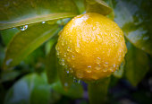 ripe lemon with water drops tree