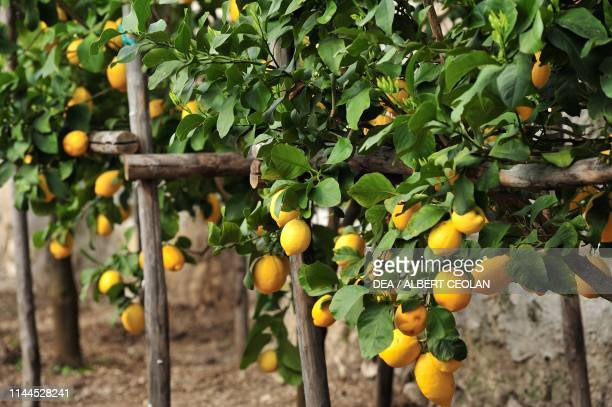 Ripe lemons on branches in the Limonaia del Castel , Limone sul Garda, Lake Garda, Lombardy, Italy.