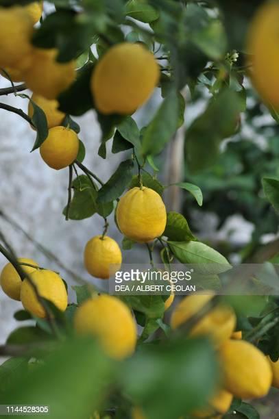 Ripe lemons on branches in the Limonaia del Castel Limone sul Garda Lake Garda Lombardy Italy