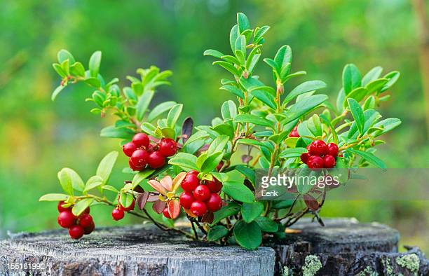 À maturité lingonberries