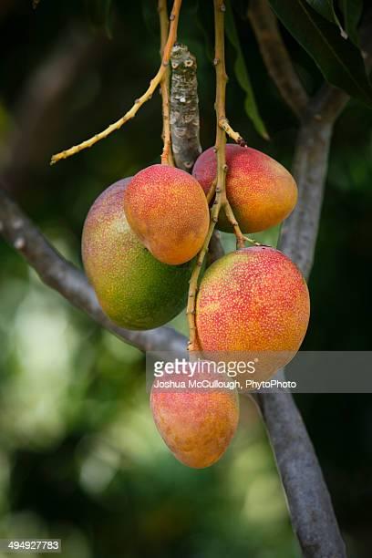 Ripe Mango fruit, Mangifera indica