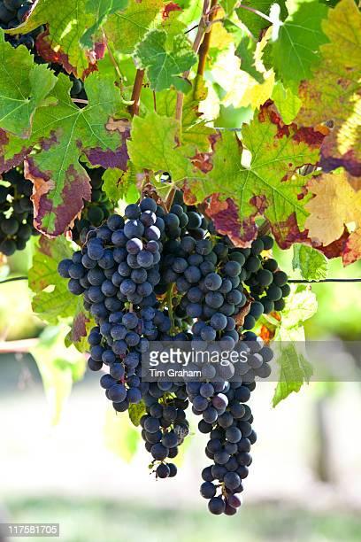 Ripe Merlot grapes on an ancient vine at Chateau Fontcaille Bellevue in Bordeaux region of France