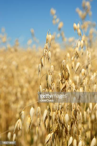 Ripe Oats ready for harvest.