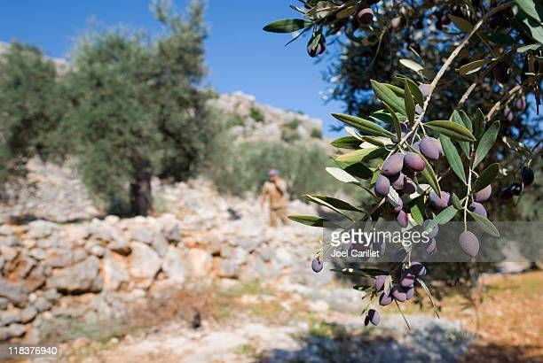 ripe olives on branch and palestinian farmer in aboud - palestine stock pictures, royalty-free photos & images