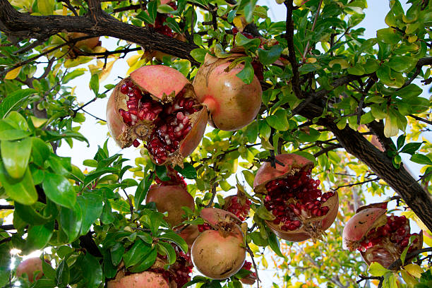 ripe, open pomegranate fruit on tree - pomegranate tree stock photos and pictures