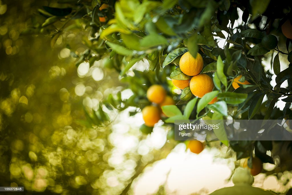 Ripe orange citrus grove : Stock Photo