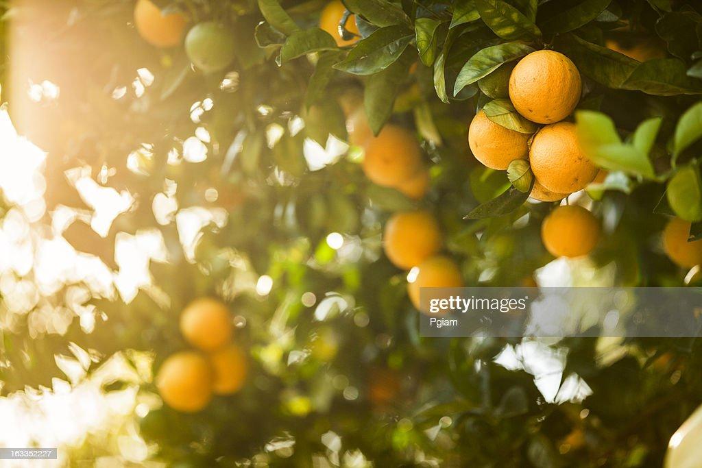 熟したオレンジのシトラスグローヴ : ストックフォト
