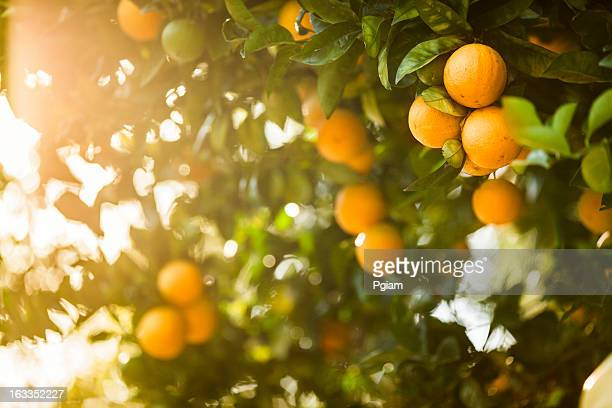 ripe orange citrus grove - orchard stockfoto's en -beelden