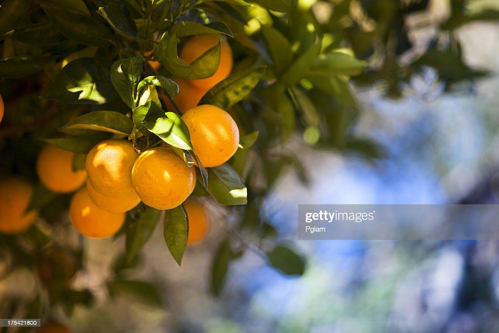 Ripe orange citrus grove : Stock Photo
