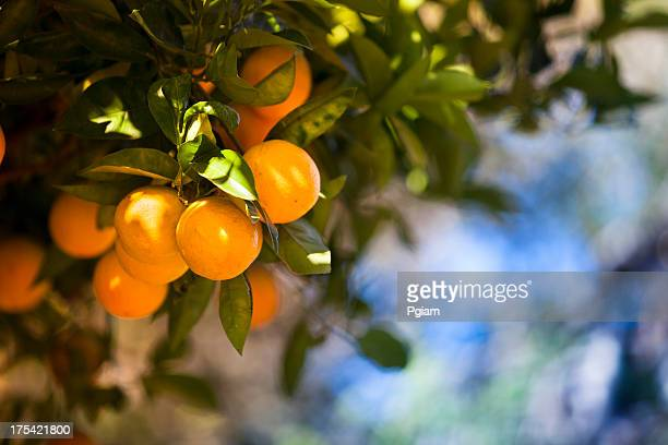 ripe orange citrus grove - citrus fruit stock pictures, royalty-free photos & images