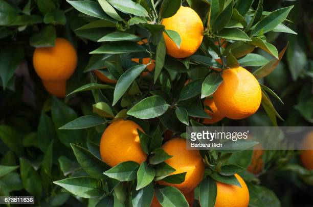 Ripe orange citrus hanging from tree in the morning light