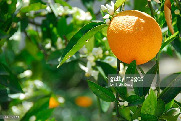 ripe orange (citrus sinensis) on a tree - lyn holly coorg stock pictures, royalty-free photos & images