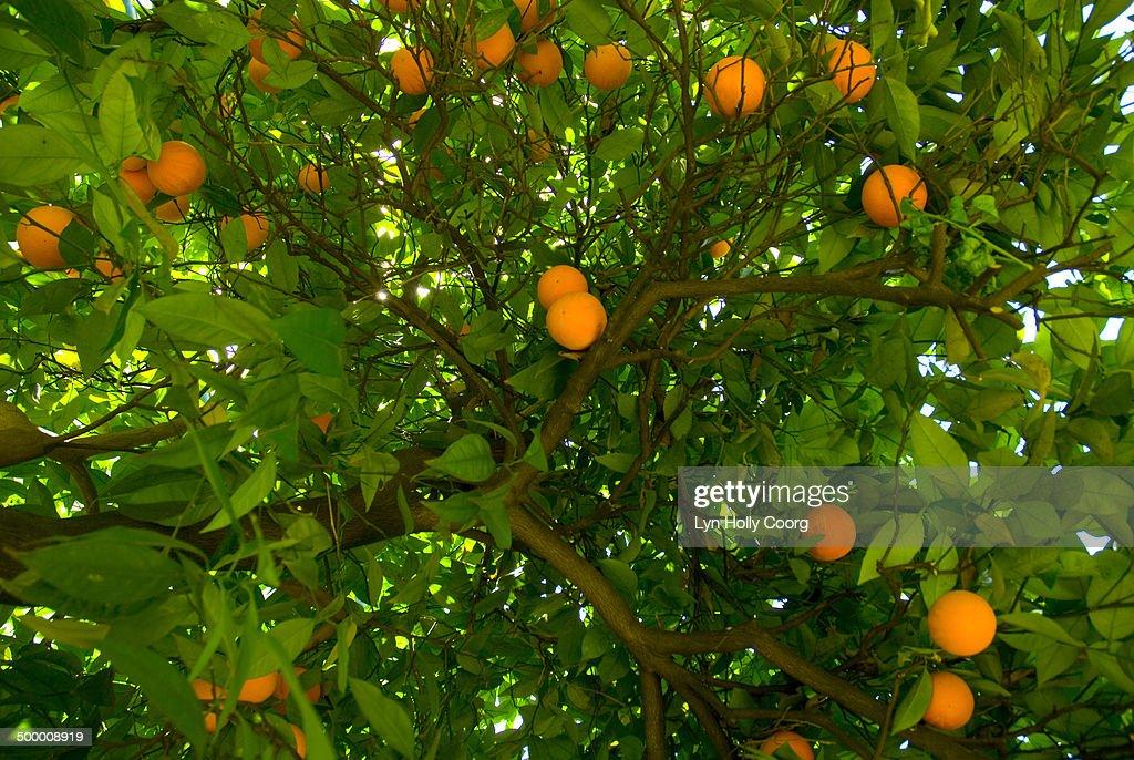 Ripe oranges growing on tree : Stock Photo