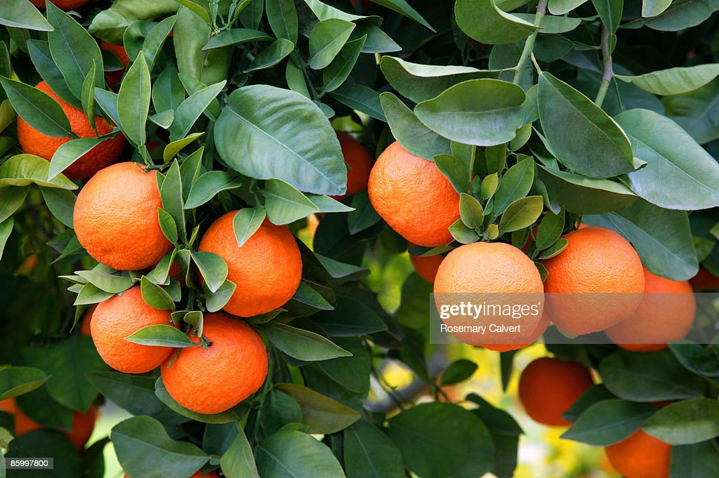 Ripe oranges growing on tree. : Stock Photo