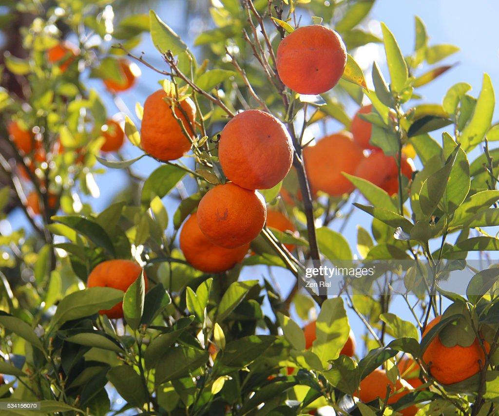 Ripe Oranges on branches of an orange tree : Stock Photo