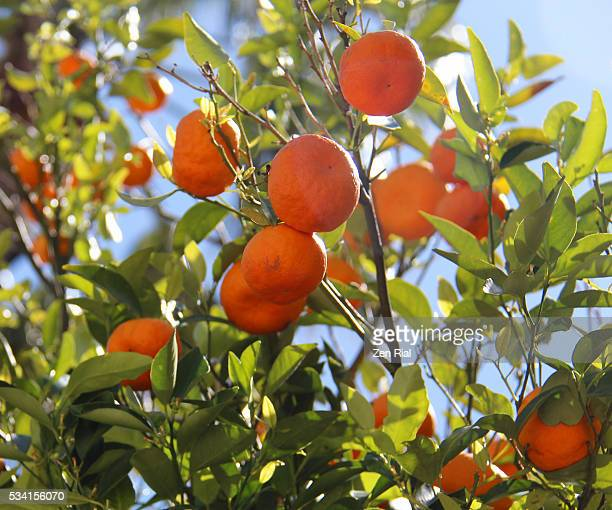 ripe oranges on branches of an orange tree - orange orchard stock photos and pictures