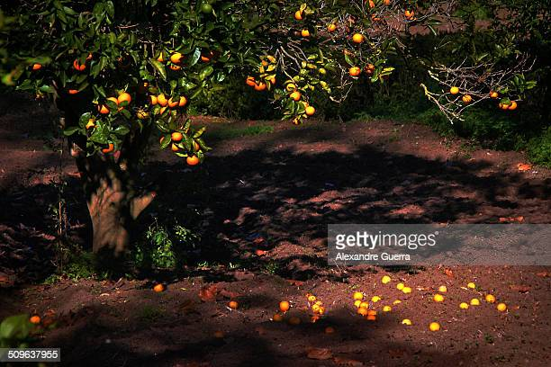 ripe oranges on citrus tree and fallen on soil - orange grove stock photos and pictures