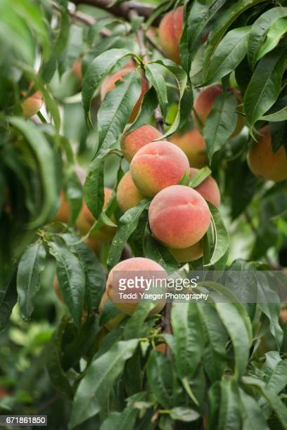 ripe peaches on a tree - peach tree stock pictures, royalty-free photos & images